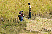 A man and woman cut and harvest rice between Kimche and Syauli Bajar, along the trail to Annapurna Sanctuary in Nepal.