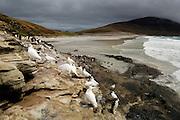 Auf halbem Weg zwischen Meer und Brutkolonie pausieren diese Felsenpinguine (Eudyptes chrysocome) von Jagd und Fütterung und nehmen sich Zeit für die Gefiederpflege. Auch Weißgesichts-Scheidenschnäbel (Chionis alba) sind am Rande der Pinguinkolonie anzutreffen. Dort warten die Aasfresser auf eine der zahlreichen Gelegenheiten, tote Küken zu ergattern. | Halfway between the breeding colony and the sea these rockhopper penguins (Eudyptes chrysocome) rest from foraging and feeding and take some time for preening. Also Snowy sheathbills (Chionis alba) are frequently found at the edges of the penguin colonies. There they wait for their chance to snatch a dead chick.