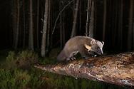 Pine marten foraging in pine woodland at night, Glenfeshie, Scotland.