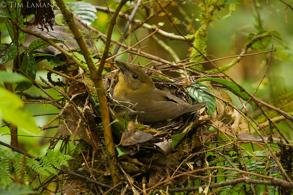 Female Vogelkopf Bowerbird (Amblyornis inornatus) at her nest with an egg.