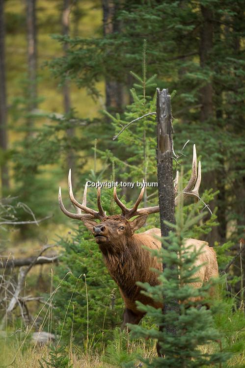 mature bull elk head rocked back bugling agressive behaviour