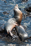"""Galápagos Sea Lion (Zalophus wollebaeki) at Puerto Baquerizo Moreno, on Isla San Cristóbal (Chatham Island), the easternmost island in the Galápagos archipelago, Ecuador. This mammal in the Otariidae family breeds exclusively on the Galápagos Islands and in smaller numbers on Isla de la Plata, Ecuador. Being fairly social, and one of the most numerous species in the Galápagos archipelago, they are often spotted sun-bathing on sandy shores or rock groups or gliding gracefully through the surf. They have a loud """"bark"""", playful nature, and graceful agility in water. Slightly smaller than their Californian relatives, Galápagos Sea Lions range from 150 to 250 cm in length and weigh between 50 to 400 kg, with the males averaging larger than females. Sea lions have external ear-like pinnae flaps which distinguish them from their close relative with whom they are often confused, the seal. When wet, sea lions are a shade of dark brown, but once dry, their color varies greatly. The females tend to be a lighter shade than the males and the pups a chestnut brown. Isla San Cristóbal (Chatham Island) is the easternmost island in the Galápagos archipelago, and one of the oldest geologically. Its Spanish (and most commonly used) name """"San Cristóbal"""" comes from the Patron Saint of seafarers, """"St. Christopher."""" In 1959, Ecuador declared 97% of the land area of the Galápagos Islands to be Galápagos National Park, which UNESCO registered as a World Heritage Site in 1978. Ecuador created the Galápagos Marine Reserve in 1998, which UNESCO appended in 2001."""