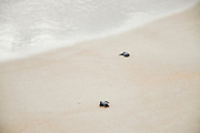 Israel, Atlit, Green Turtle (Chelonia mydas), after hatching on their first dangerous voyage to the Mediterranean Sea
