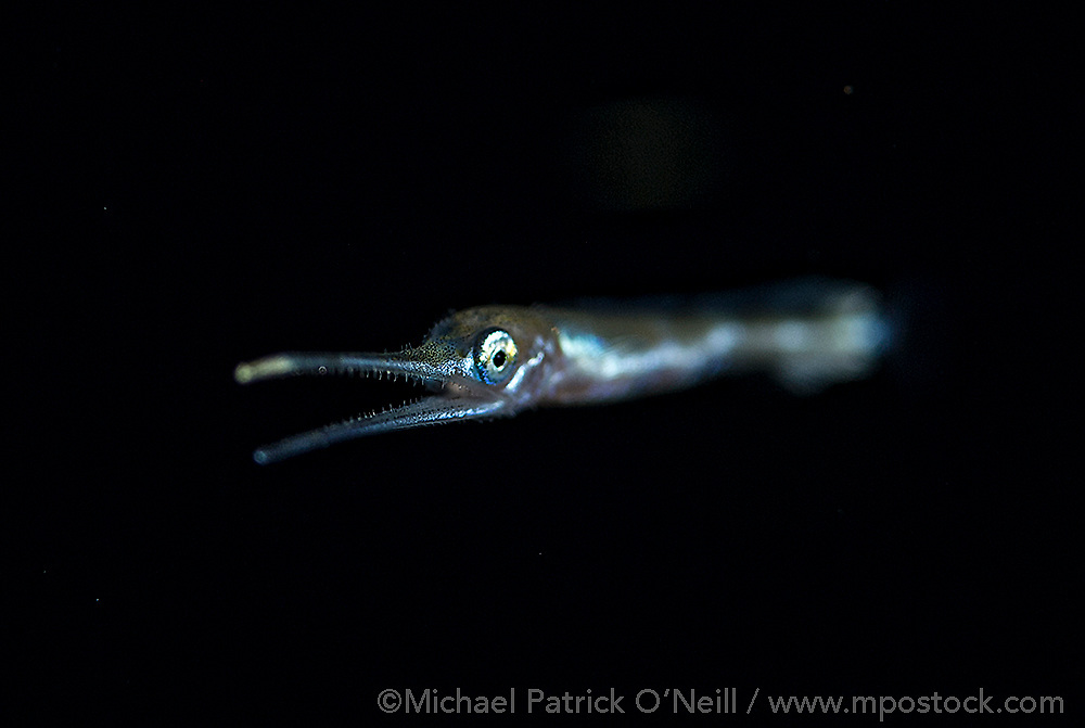 A Swordfish, Xiphias gladius, larvae, barely two inches long, drifts in the Gulf Stream at night offshore Palm Beach County, Florida.