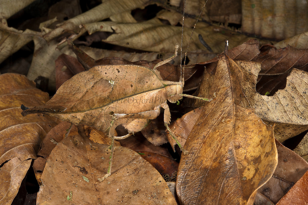 Dead-leaf Katydid (Tettigoniidae)<br /> Yasuni National Park, Amazon Rainforest<br /> ECUADOR. South America<br /> HABITAT &amp; RANGE: