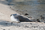Hawaiian monk seal, Monachus schauinslandi ( Critically Endangered ), 2.5 year old male resting on beach at Pu'uhonua o Honaunau ( City of Refuge ) National Historical Park, Kona, Hawaii ( the Big Island ) U.S.A.