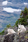 Two mountain goats rest on a ledge, Western Montana