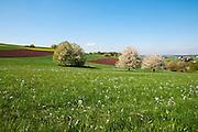 blühende Kirschbäume, Landschaft im Frühling, Köllertal, Saarland, Deutschland