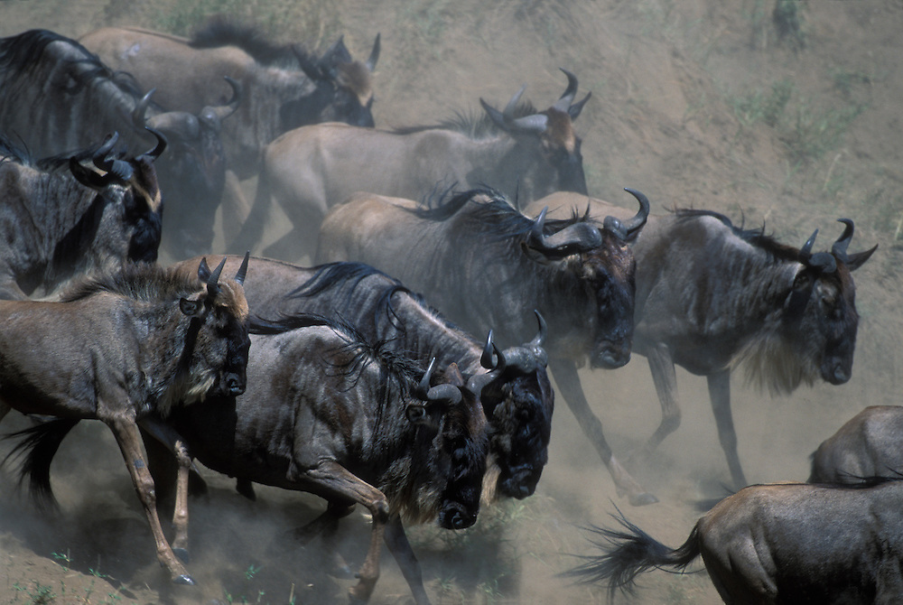 Kenya, Masai Mara Game Reserve, Huge Wildebeest herd (Connochaetes taurinus) runs down banks of Telek River in migration
