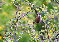 Bewick's Wren (Thryomanes bewickii) searching for insects in a tree, San Juan Cosala, Jalisco, Mexico