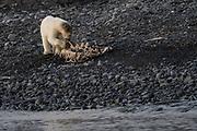 Juvenile polar bear cub (Ursus maritimus) in Spitsbergen, Svalbard, Norway