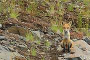The red fox, Vulpes vulpes<br /> Killarney Provincial Park<br /> Ontario<br /> Canada