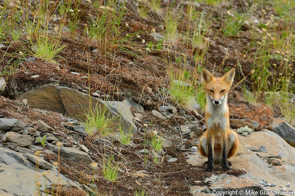 The red fox, Vulpes vulpes<br /> Killarney Provincial Park<br /> Ontario<br /> Canada