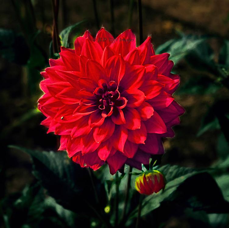 Single red bloom, head on, at Fraser Castle garden<br /> Single red bloom, head on, at Fraser Castle garden<br /> Single red bloom, head on, at Fraser Castle garden<br /> Single red bloom, head on, at Fraser Castle garden<br /> Single red bloom, head on, at Fraser Castle garden<br /> Single red bloom, head on, at Fraser Castle garden<br /> Single red bloom, head on, at Fraser Castle garden