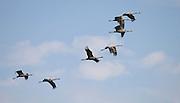 Israel, Hula Valley, Silhouette of Grey Cranes Grus grus in flight at the Agmon lake winter December 2006