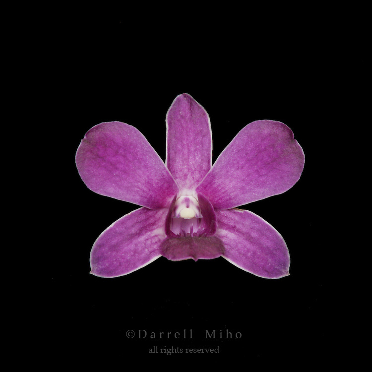 purple dendrobium orchid flower on black background.<br />