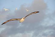 Laysan Albatross (Phoebastria immutabilis) flying with wings spread with three White Terns (Gygis alba), Midway Atoll National Wildlife Refuge.