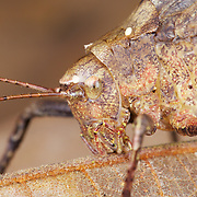 Close up of a Katydid face whilst eating.
