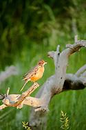 American Robin, (Tardus migratorius), Spring, Montana