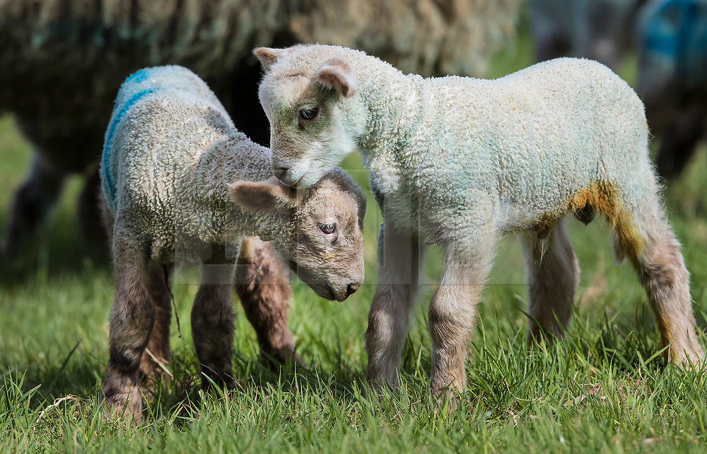 © Licensed to London News Pictures. 06/04/2018. Dorking, UK. A one day old newborn lambs play on the grass for the first time in the spring sunshine on the Downs at Ranmore, near Dorking in Surrey. Warm spring temperatures are being experienced in parts of the UK today. Photo credit: Peter Macdiarmid/LNP