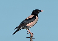 Rose coloured Starling Sturnus roseus L 20-22cm. Found among flocks of Starlings. Adult has unmistakable pink and dark plumage. Juvenile is buffish grey with a yellow bill.
