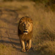 Lion Leo Panthera. Ngamo male 69 walking Hwange national park Zimbabwe