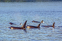 A pod of killer whales, Orcinus orca surfacing in Johnstone Strait in British Columbia, Canada.