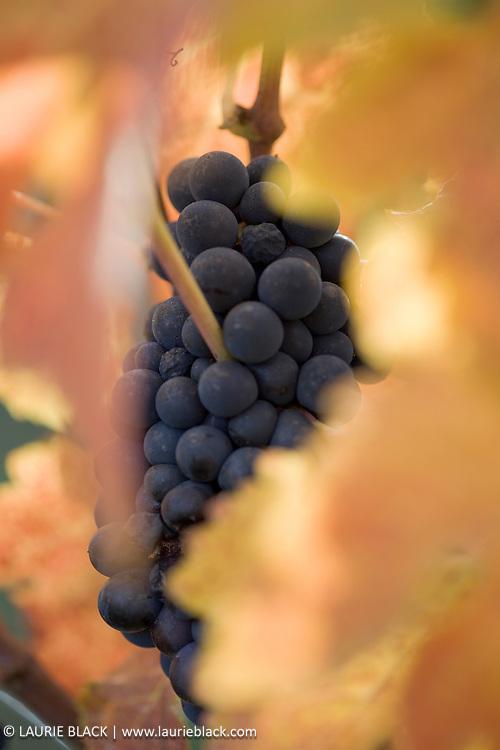 Wine grape cluster in autumn light