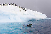 Leopard Seal (Hydrurga leptonyx) and Adelie Penguins (Pygoscelis adeliae)<br /> Adelie penguins on ice floe watching circling leopard seal<br /> Paulet Island, Antarctica