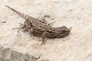 Eastern Fence Lizard (Sceloporus undulatus)<br /> United States: Alabama: Tuscaloosa Co.<br /> Tulip Tree Springs off Echola Rd.; Elrod<br /> 18-Nov-2017<br /> J.C. Abbott #3010