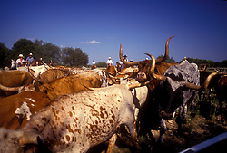 group of longhorn cattle with ranchers in the background