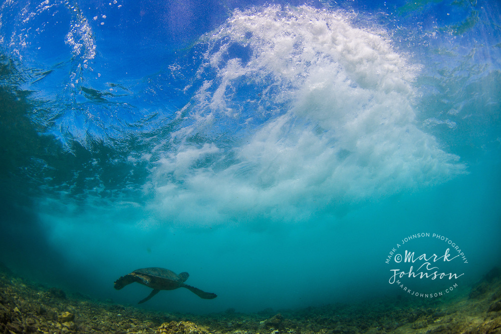 Green Sea Turtle ducking under a wave underwater, Puako Bay, Big Island (Hawaii Island), Hawaii