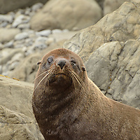 Popeye, a male Fur Seal (Arctocephalus forsteri) gives me the eye outside of Kaikoura, NZ.