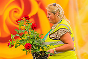 The Festival of Roses - reparations for the Hampton Court Flower Show, organised by teh Royal Horticultural Society (RHS). In the grounds of the Hampton Court Palace, London.