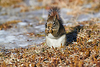 Red Squirrel (Tamiasciurus hudsonicus), Cherry Hill, Nova Scotia, Canada,
