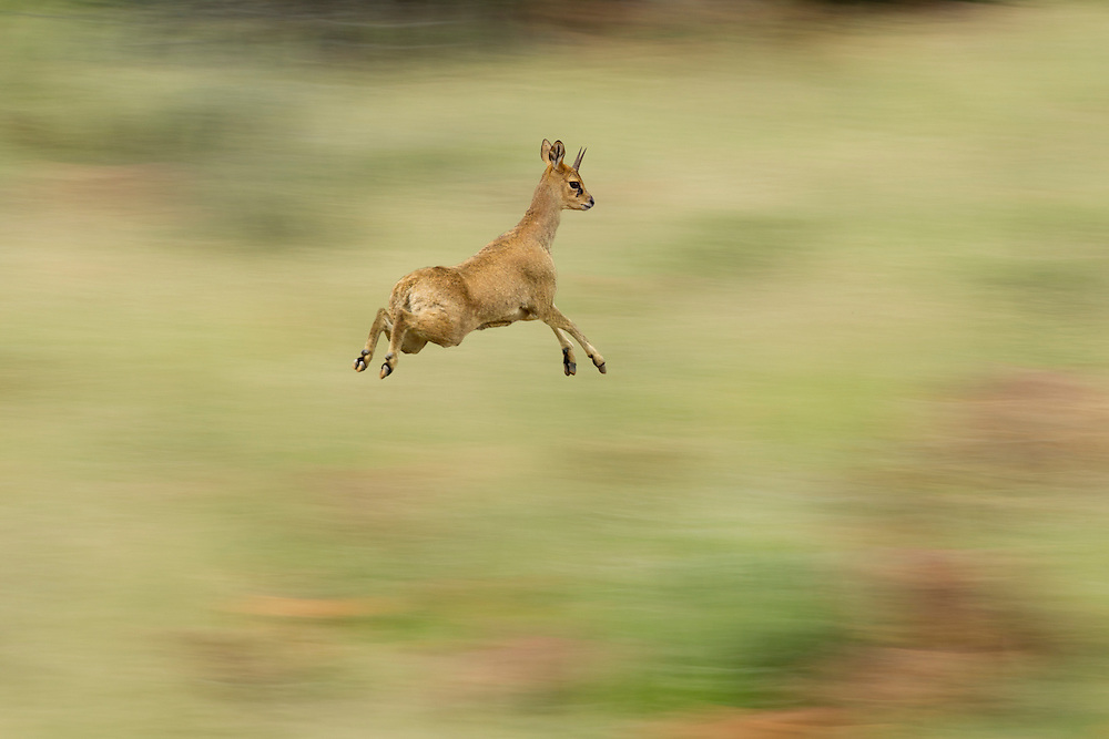 Klipspringer (Oreotragus oreotragus) in mid leap, Karoo, South Africa