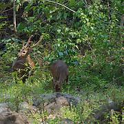 Hog Deer (Hyelaphus porcinus AKA Axis porcinus) part of a reintroduction programme in Huai Kha Khaeng Wildlife Sanctuary, Thailand.