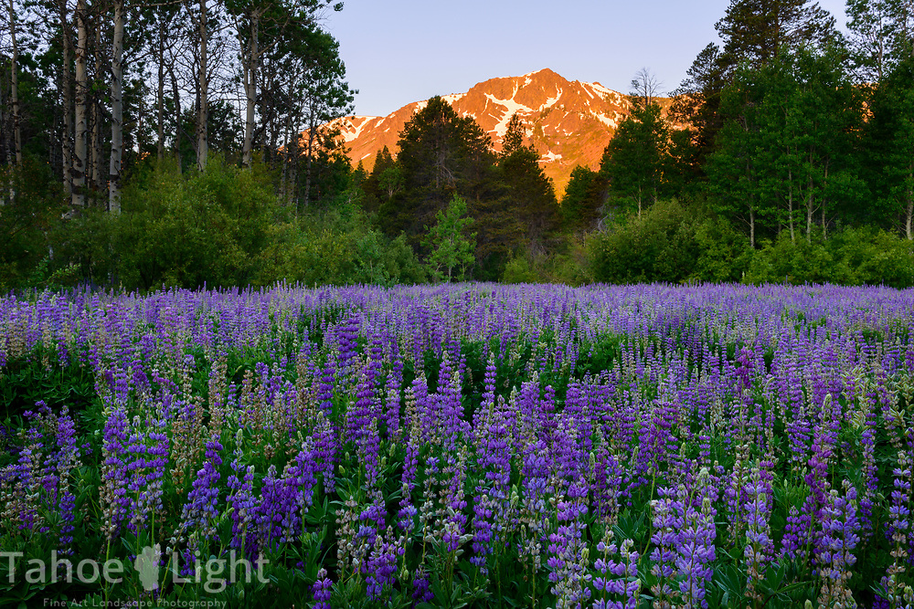 Bush Lupin and Mt. Tallac at Sunrise in South Lake Tahoe.