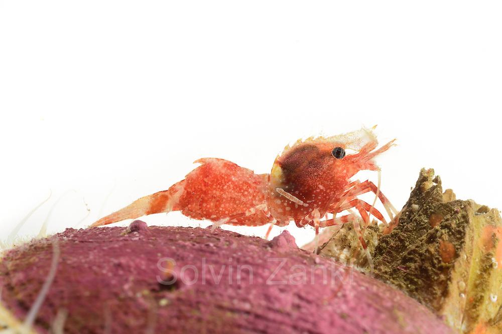 Shrimp (Spirontocaris spinus) Arctic Ocean, Svalbard, Spitsbergen, Norway | Garnele (Spirontocaris spinus) Nordatlantik / Arktischen Ozean, Spitzbergen, Norwegen