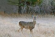 White-tailed deer (Odocoileus virginianus)<br /> Birds Hill Provincial Park<br />Manitoba<br />Canada