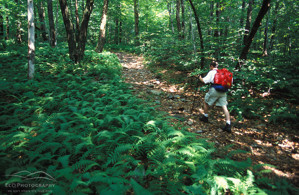Pownal, VT. A hiker makes his way through ferns and forest on the Dome Trail in Vermont's Green Mountains.