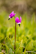 Macro of Frigid Shooting Star (Dodecatheon frigidum) at Thompson Pass near Valdez in Southcentrral Alaska. Summer. Afternoon.