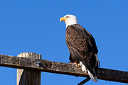 A bald eagle sits on a telephone pole near the town of Mammoth Lakes view from backside on.