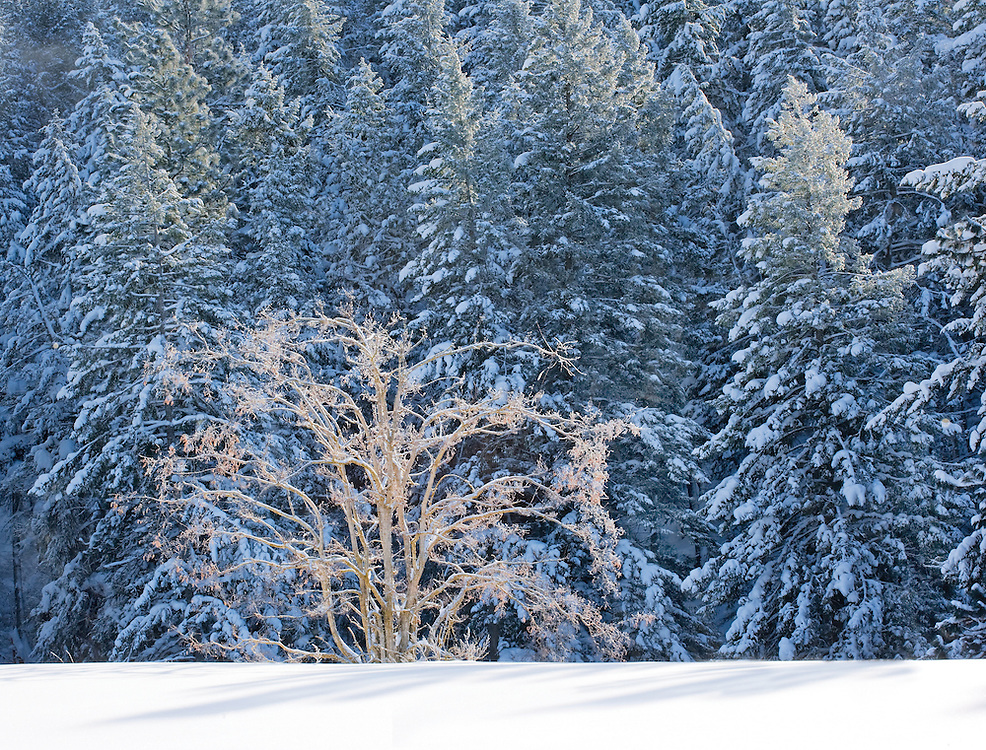 Expressive Winter Tree in Sunlight in Front of Snow Covered Evergreen Forest, Washington