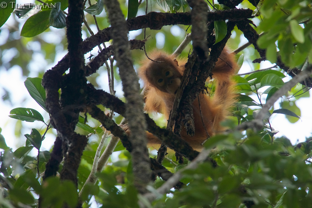 Adult female Bornean Orangutan with infant.<br /><br /><br />Fera &amp; Feri