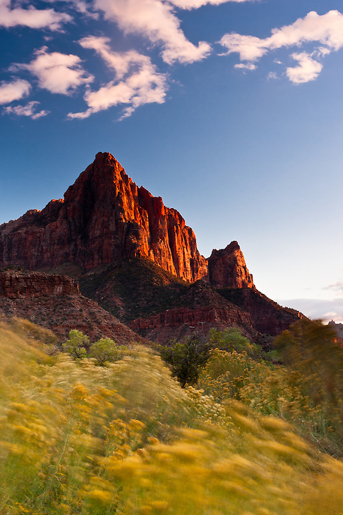 Sunset light shines on the most iconic of rock formations in Zion National Park, the Watchman, as the wind blows the foreground vegetation