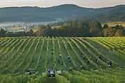 Bethel Heights harvest, Eola-Amity AVA, Willamette Valley, Oregon