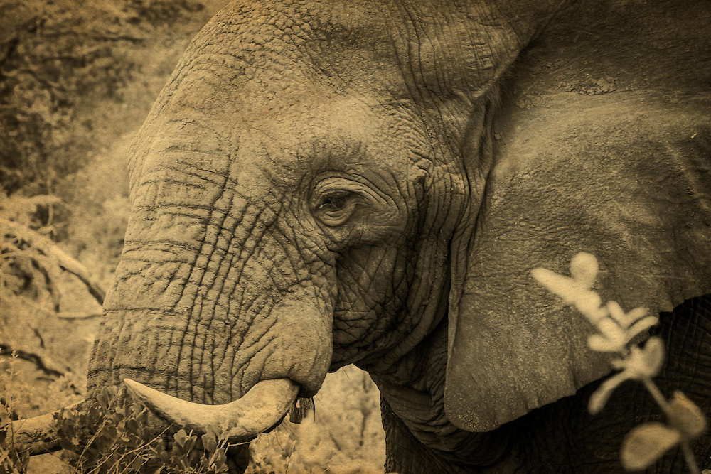 The African bush elephant is the largest living terrestrial animal in the world.  Their upper lip and nose form a trunk which acts as a fifth limb.  The African elephants' trunk ends in two opposing lips were the Asian elephants' trunk ends in one lip.