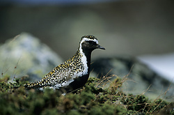 Europpean Golden-Plover