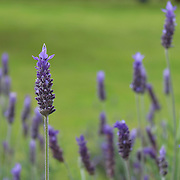 Lavandula dentata is a species of lavender, one of several species known also by Lavandula stoechas. Is native to the Mediterranean, the Atlantic islands and the Arabian peninsula. It is commonly grown as an ornamental plant and its essential oil is used in perfumes.